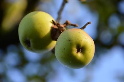 Cuisiner la pomme